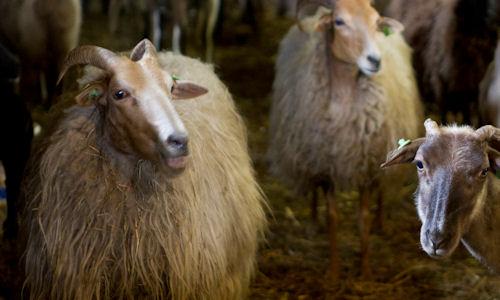 balloo, wolfeest, schapenscheerdersfestival