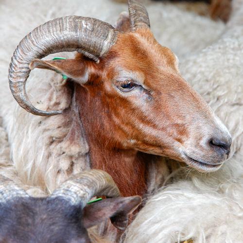 schapenscheercursus
