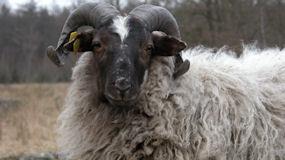 wolfeest, schapen scheren, schapenscheerdersfestival